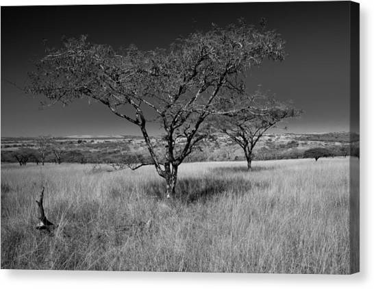 African Oak Canvas Print by Scott Moore