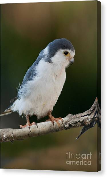 Pigmy Canvas Print - African Pygmy Falcon by Anthony Mercieca