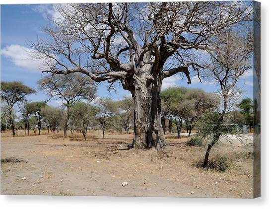 African Series 3000 Year Old Tree Canvas Print by Katherine Green