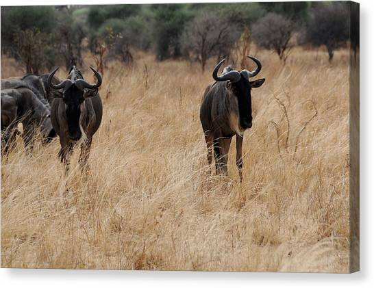 African Series Widerbeest Canvas Print by Katherine Green