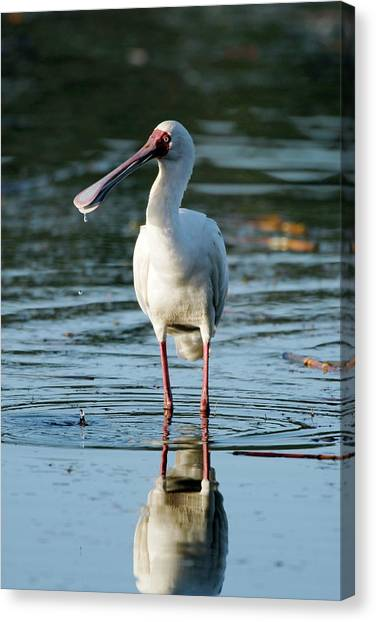 Spoonbills Canvas Print - African Spoonbill by Peter Chadwick/science Photo Library