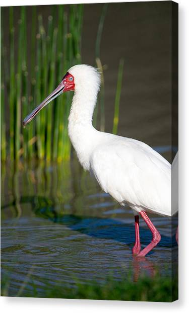 Spoonbills Canvas Print - African Spoonbill Platalea Alba by Panoramic Images