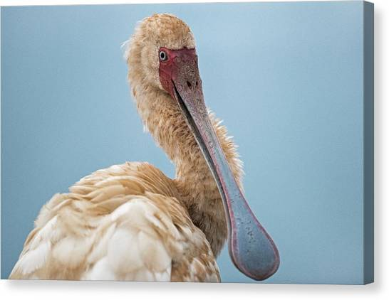 Spoonbills Canvas Print - African Spoonbill by Tony Camacho/science Photo Library