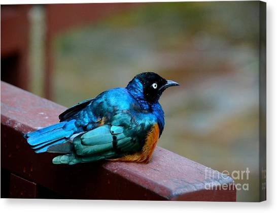 African Superb Starling Bird Rests On Wooden Beam Canvas Print