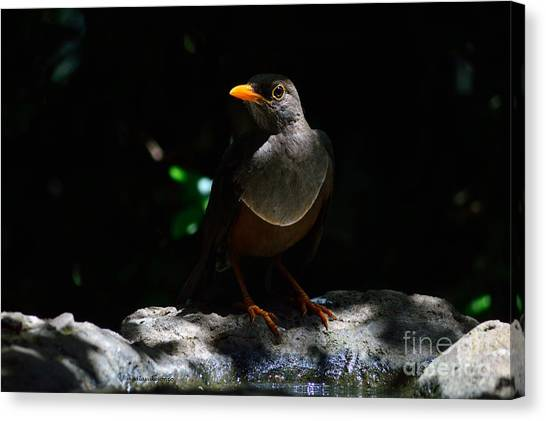 African Thrush Canvas Print by Morris Keyonzo