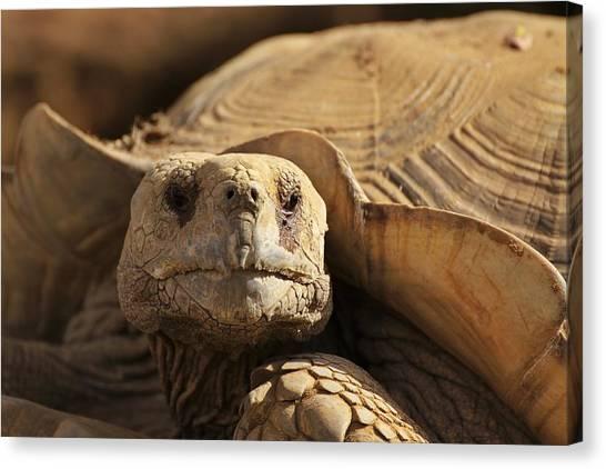 African Tortoise Canvas Print