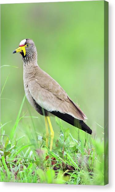 Lapwing Canvas Print - African Wattled Plover by Peter Chadwick/science Photo Library