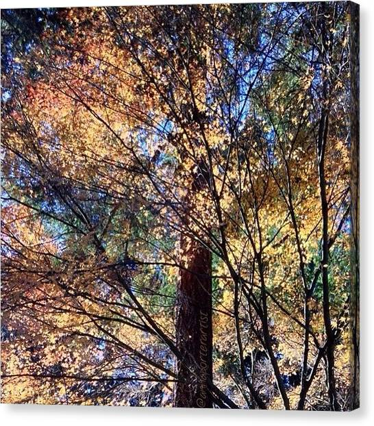 Autumn Leaves Canvas Print - Afternoon Glow Favorite Maple Tree by Anna Porter