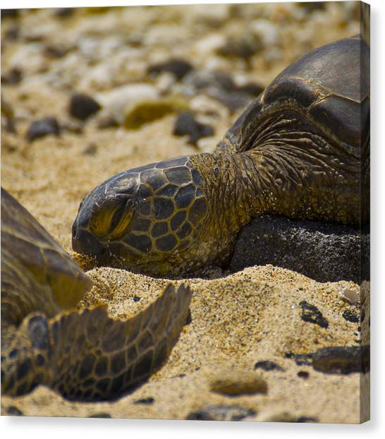 Sea Turtles Canvas Print - Afternoon Nap by Brian Governale