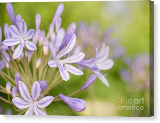 The Nile Canvas Print - Agapanthus by Delphimages Photo Creations