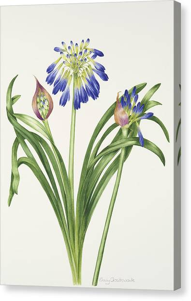 In Bloom Canvas Print - Agapanthus Inapertus by Sally Crosthwaite