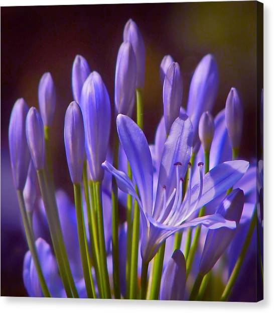 The Nile Canvas Print - Agapanthus - Lily Of The Nile - African Lily by Nikolyn McDonald