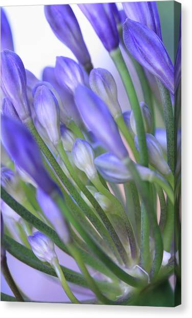 Agapanthus Canvas Print by Rebeka Dove