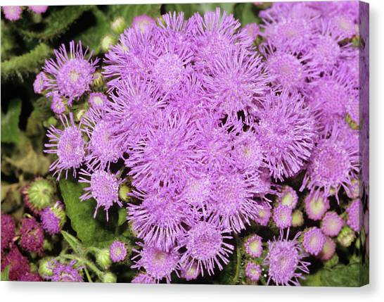 Floss Canvas Print - Ageratum Mexicanum Flowers by M F Merlet/science Photo Library