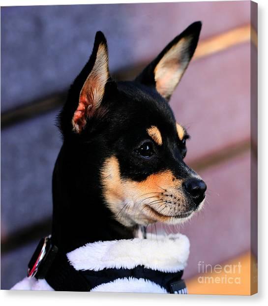 Agie - Chihuahua Pitbull Canvas Print