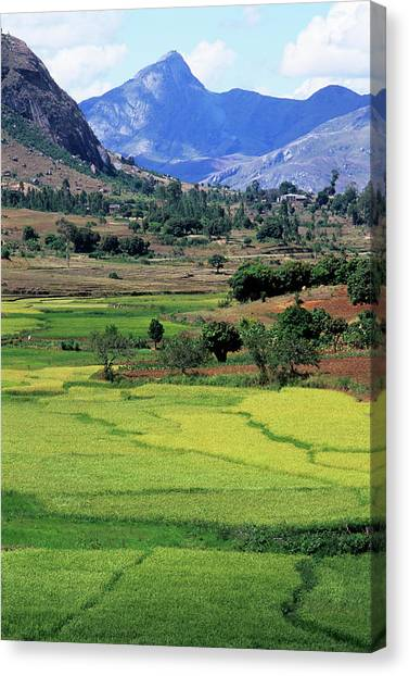 Mango Tree Canvas Print - Agricultural Fields by Sinclair Stammers/science Photo Library
