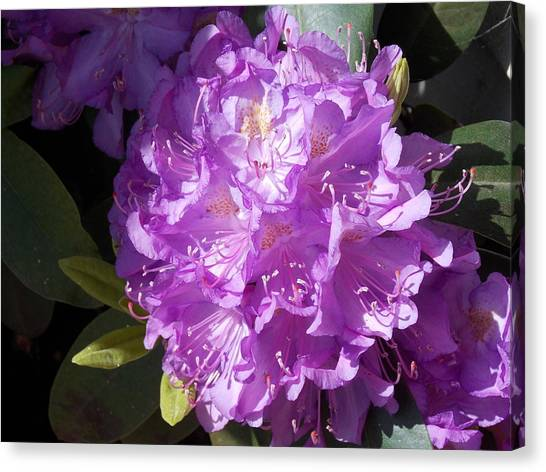 Ah Rhododendron Canvas Print