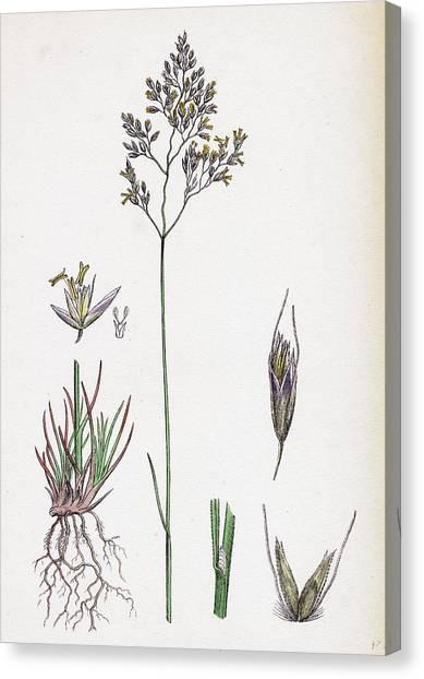 Aira Eu-fluxuosa Heath Hair-grass Canvas Print by English School