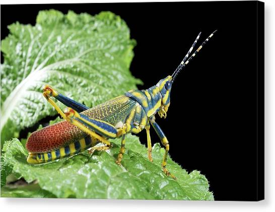 Grasshoppers Canvas Print - Ak Grasshopper by Uk Crown Copyright Courtesy Of Fera/science Photo Library