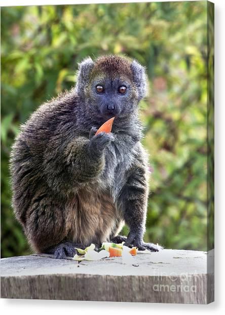 Alaotran Gentle Lemur Canvas Print