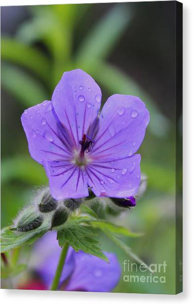 Alaska Wildflower Canvas Print