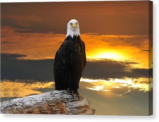 Alaskan Bald Eagle At Sunset Canvas Print