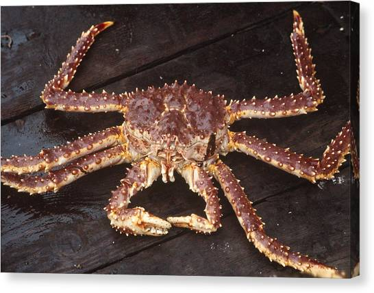 Alaskan King Crab Canvas Print by Rondi Church