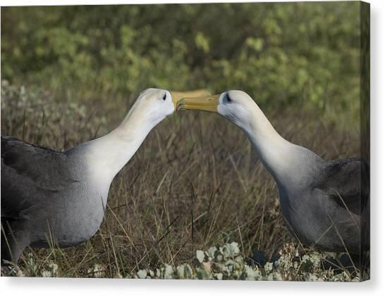 Albatross Perform Courtship Ritual Canvas Print by Richard Berry