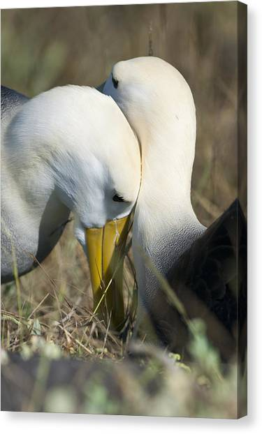 Albatrosses Snuggle Canvas Print by Richard Berry