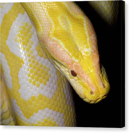 Burmese Pythons Canvas Print - Albino Burmese Python by Nigel Downer