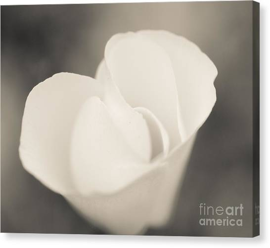 Albino Mexican Gold Poppy Canvas Print