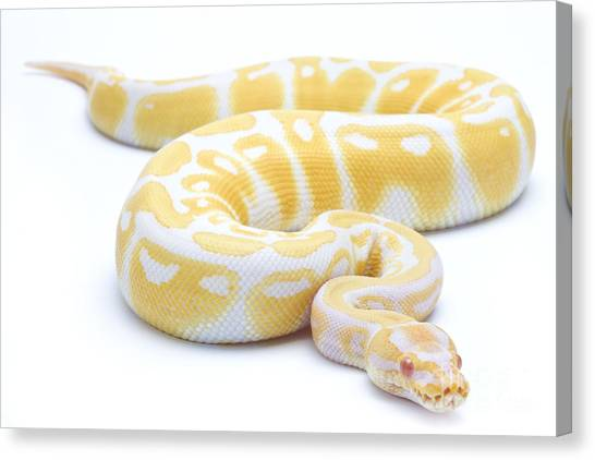 Pythons Canvas Print - Albino Royal Python by Michel Gunther