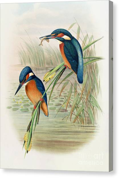 Kingfisher Canvas Print - Alcedo Ispida Plate From The Birds Of Great Britain By John Gould by John Gould William Hart