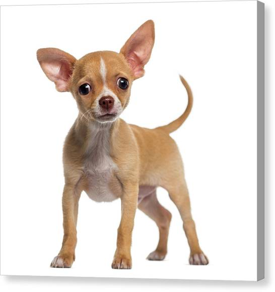 Alert Chihuahua Puppy 3 Months Old Canvas Print by Life On White
