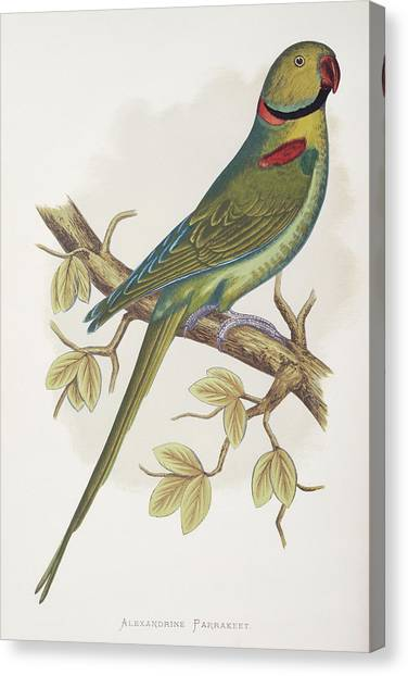 Parakeets Canvas Print - Alexandrine Parakeet by Natural History Museum, London/science Photo Library