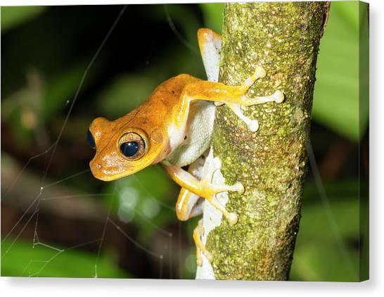 Ecuadorian Canvas Print - Alfaro's Treefrog by Dr Morley Read