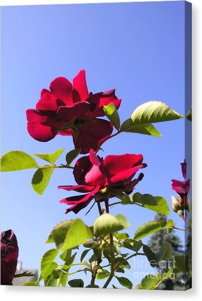 All About Roses And Blue Skies Iv Canvas Print by Daniel Henning