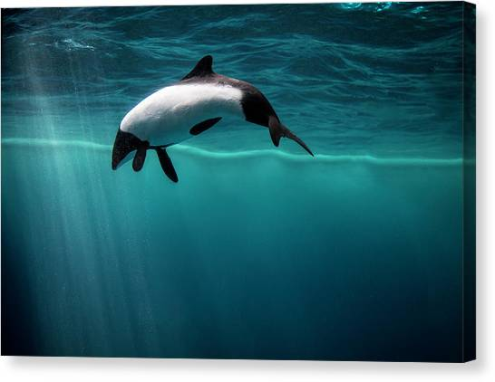 Dolphins Canvas Print - All Alone by David Williams