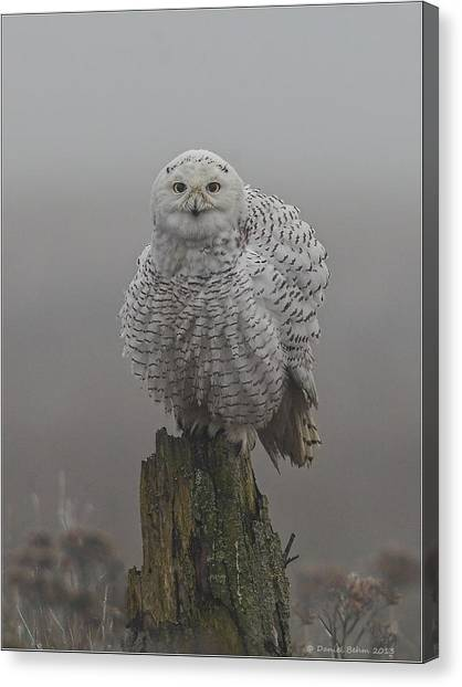 All Fluffed Up Canvas Print
