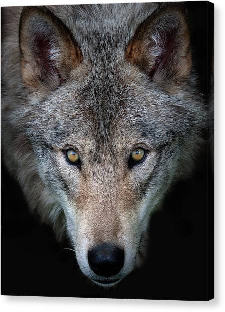 All The Better To See You - Timber Wolf Canvas Print by Jim Cumming