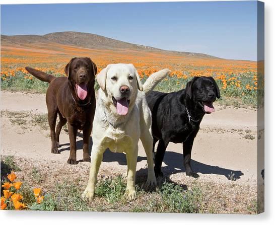 Chocolate Labrador Retriever Canvas Print - All Three Colors Of Labrador Retrievers by Zandria Muench Beraldo