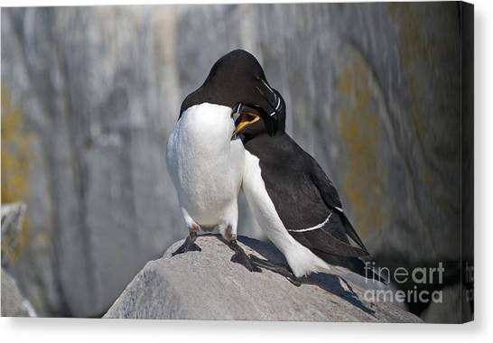 Razorbills Canvas Print - All You Need Is Love... by Nina Stavlund