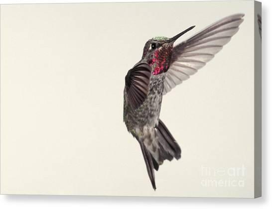 Allens Hummingbird Canvas Print - Allens Hummingbird In Flight by Ron Sanford