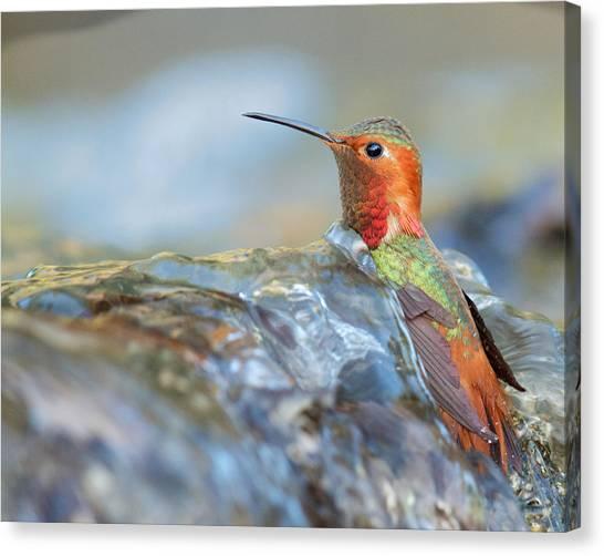Allen's Hummingbird Taking A Bath On A Waterfall Canvas Print