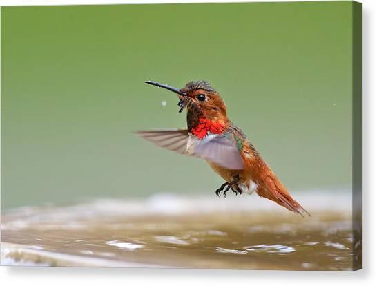 Allen's Hummingbird Canvas Print by Thy Bun
