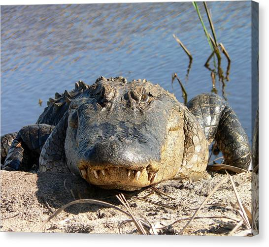 Alligator Approach Canvas Print