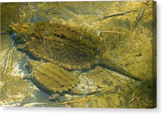 Snapping Turtles Canvas Print - Alligator Snapping Turtle With Young by Millard H. Sharp
