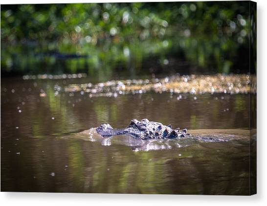 Alligator Swimming In Bayou 1 Canvas Print