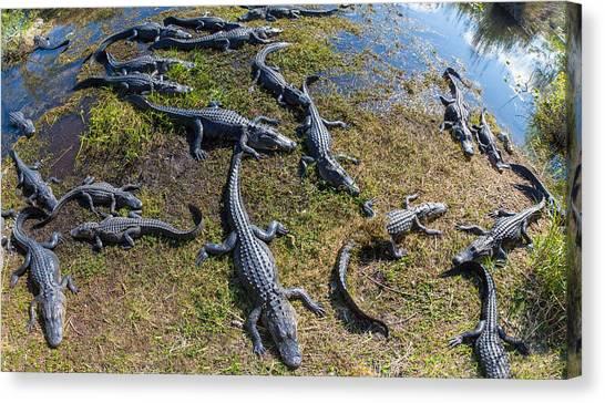 Anhinga Canvas Print - Alligators Along The Anhinga Trail by Panoramic Images