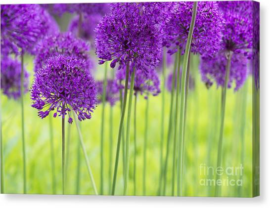 Allium Hollandicum Purple Sensation Flowers Canvas Print